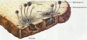 tigerbreadmold1